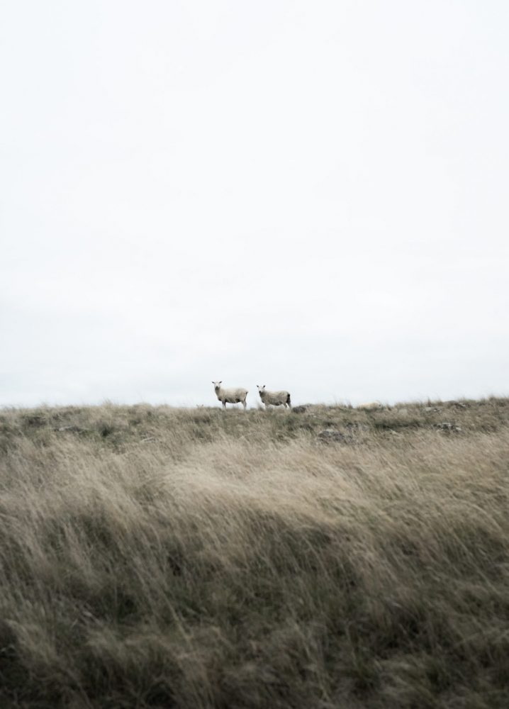 Two white sheep on a field, staring at the camera.