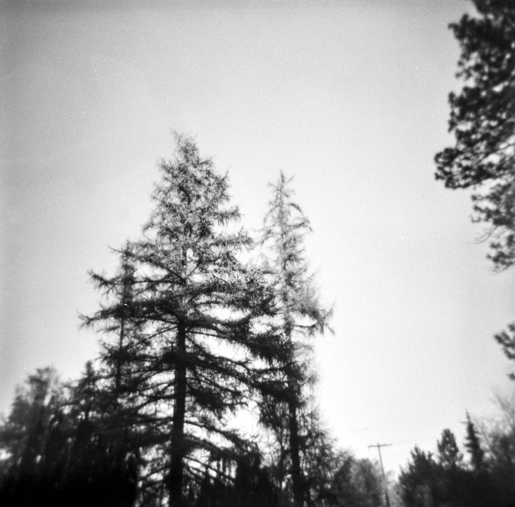 A lower-angle shot of a cluster of evergreen trees in black and white.