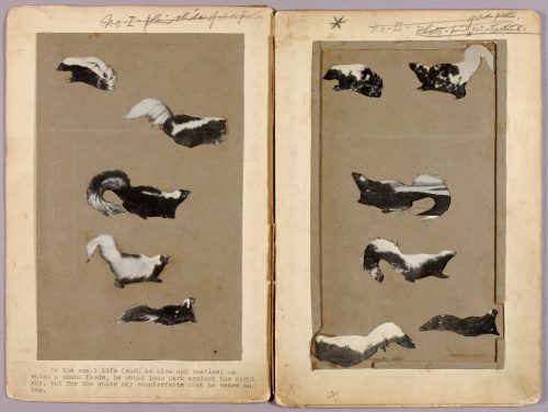 Skunks, study folder for book Concealing Coloration in the Animal Kingdom