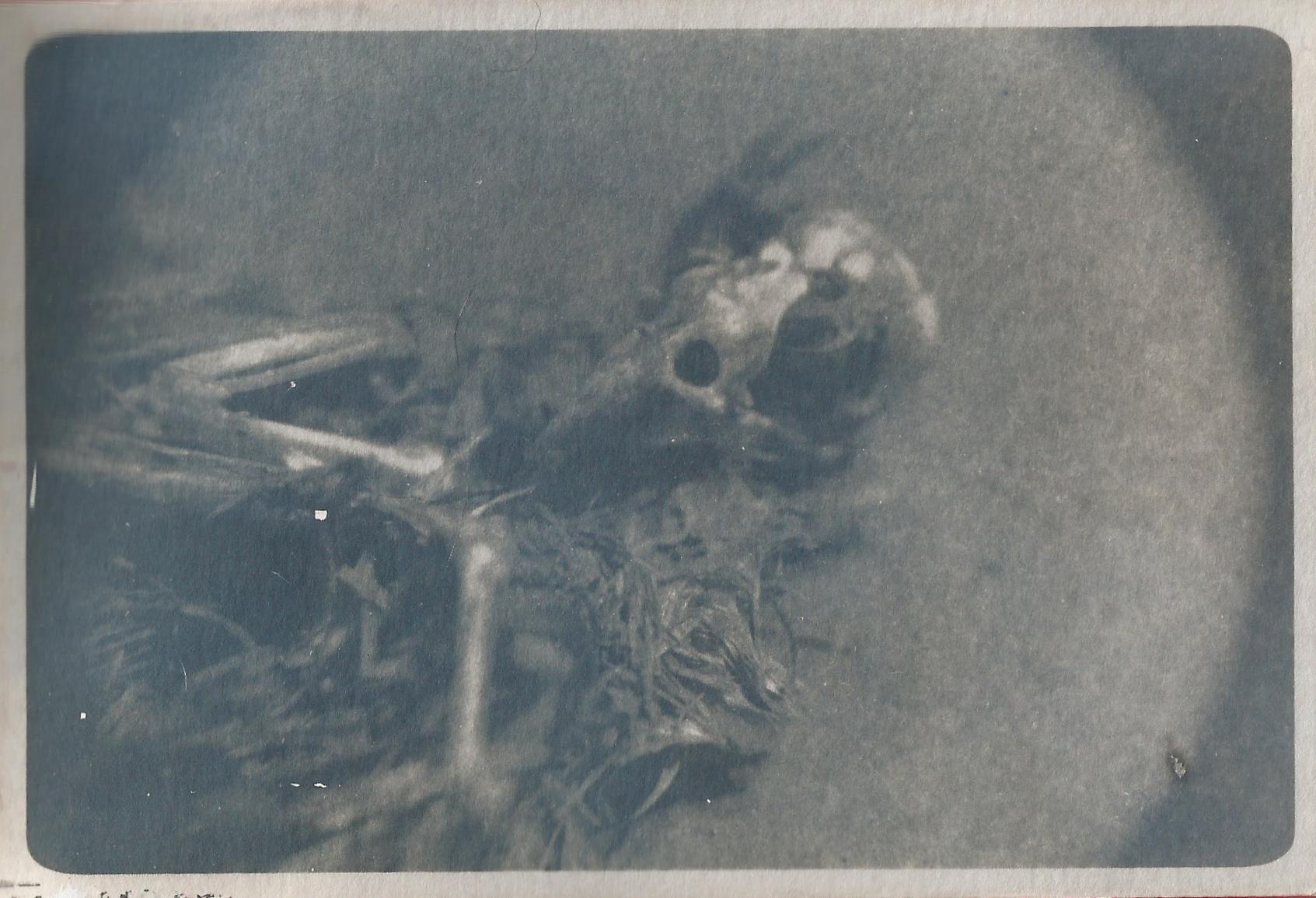 a cyanotype of a decaying bird carcass