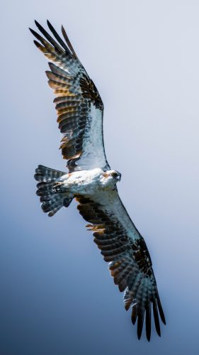A photograph of an osprey with wings outspread against a blue sky